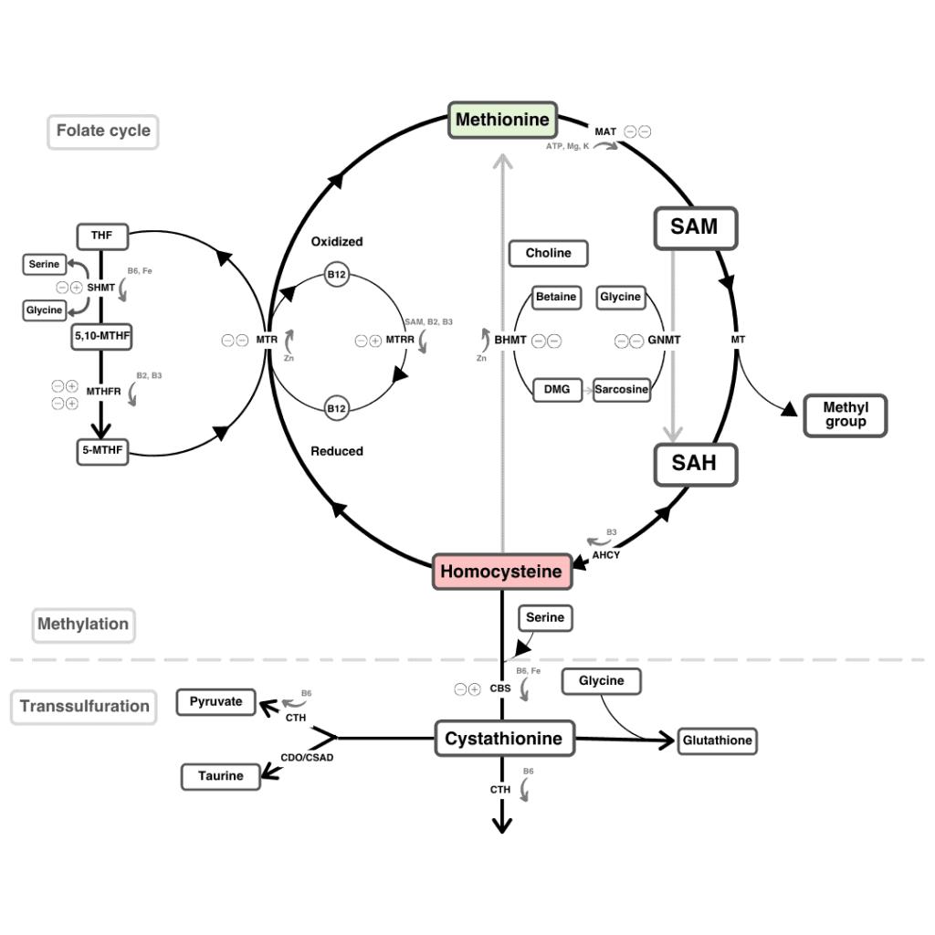 Detailed schematic representation of homocysteine to methionine conversion